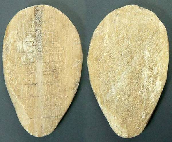 Flat Bone Cowrie - unholed