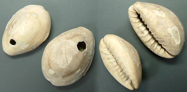 Chinese Cowries - holed